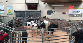 Gisburn Auction Dairy Cattle Show Results