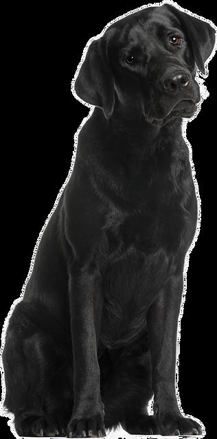 Labrador.png