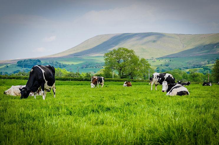 Cows (72 of 187).jpg