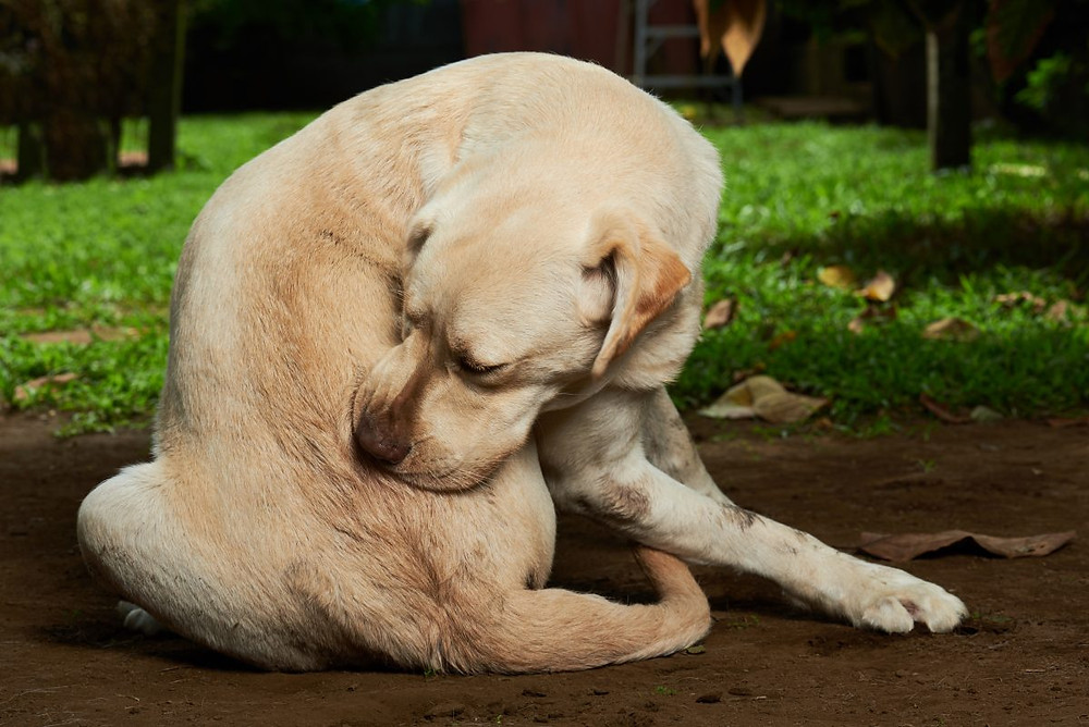 Labrador Scratching