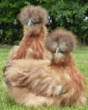 Silkies.png
