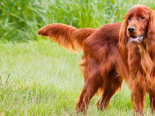 Celebrate St PAW-tricks day with these Irish Dog Breeds 🐶🍀