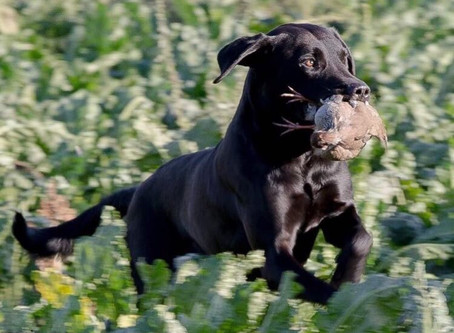 Exciting news from Burrendale Gundogs...