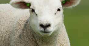 Kidney stones in lambs lead to cold weather risk...
