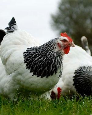 light sussex chickens.jpg