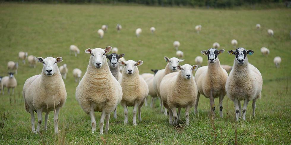 Pre-Lambing Ewe Nutrition & Safmannan