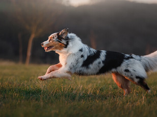 Dog Body Condition 🐶