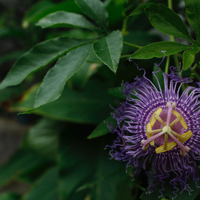 EMBODY THE POWER OF PLANTS: PASSIONATE ABOUT PASSIONFLOWER