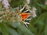 Papillon orange.JPG