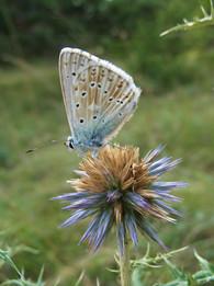 Insectes sur chardon.jpg