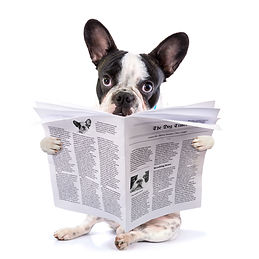 French bulldog reading newspaper content creation