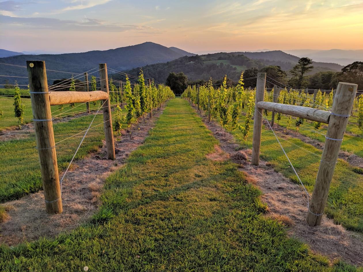 Evening vines sunset.JPG