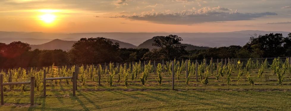 Sunset vines.JPG