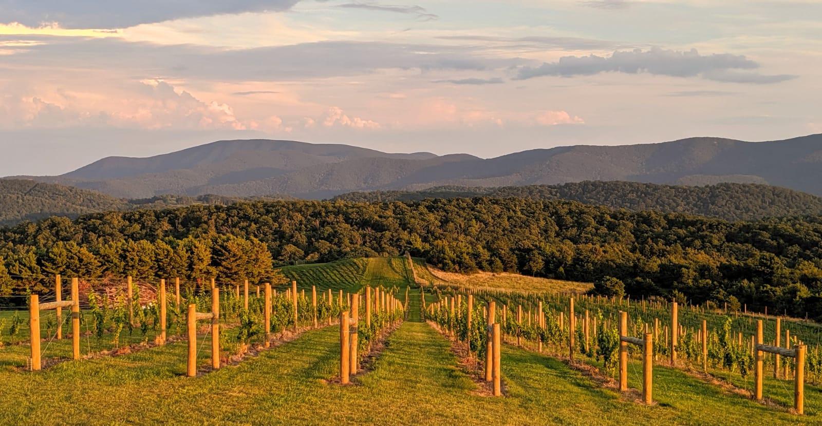 Evening vines angle.JPG
