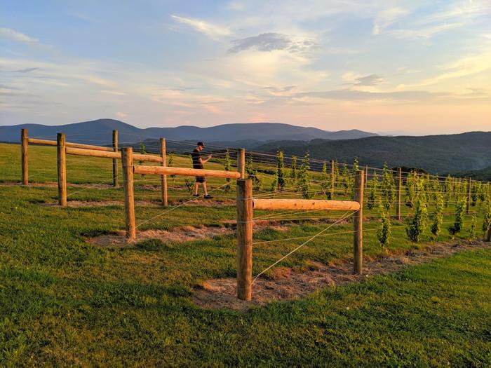 Evening Vines 2.JPG