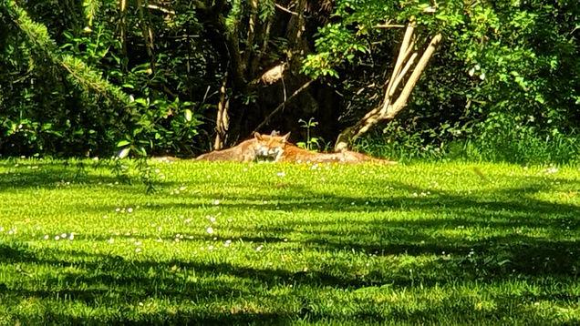 SHNRF Foxes in the spring sunshine  .jpg