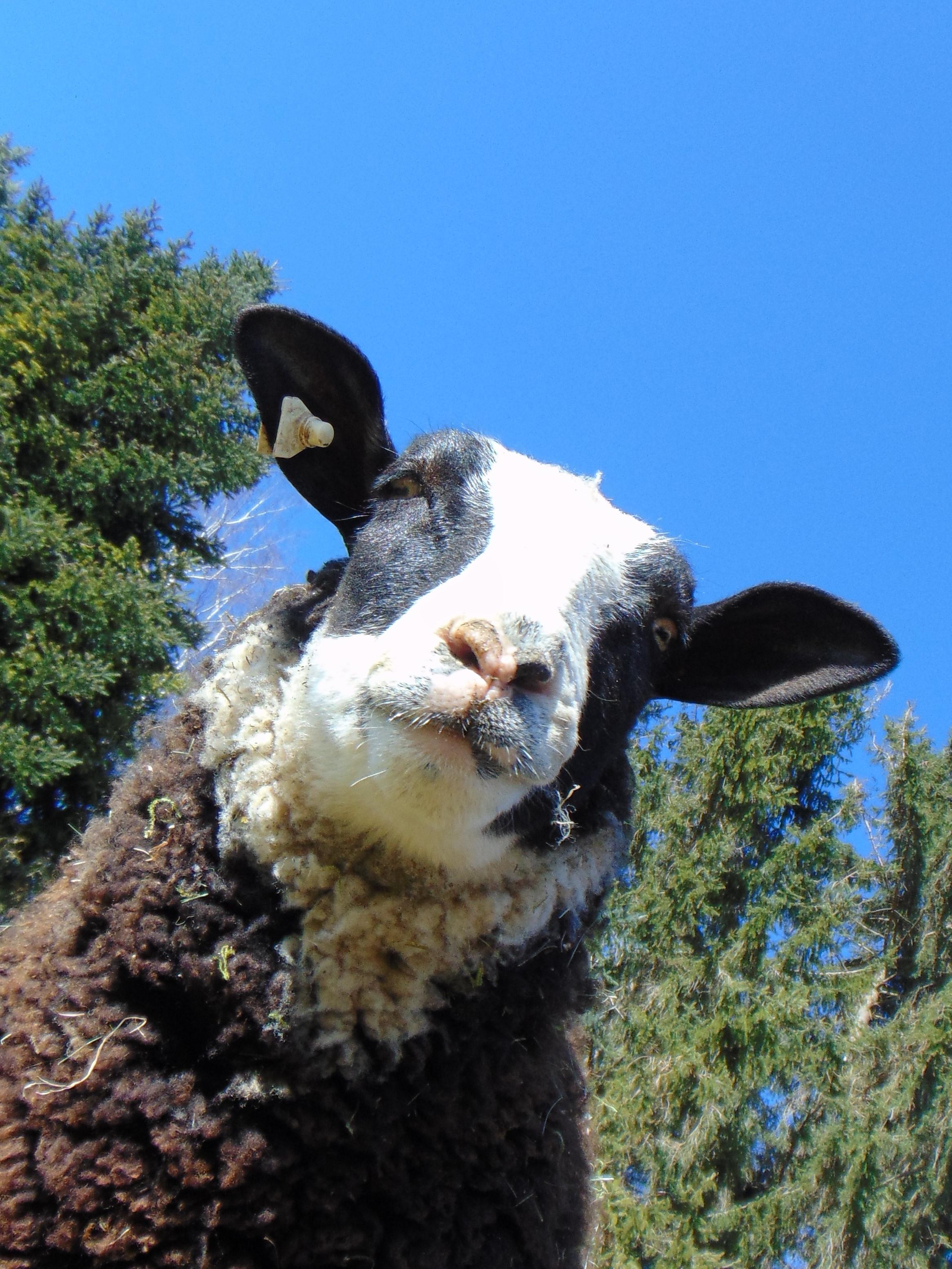 Fachwissen Schafe