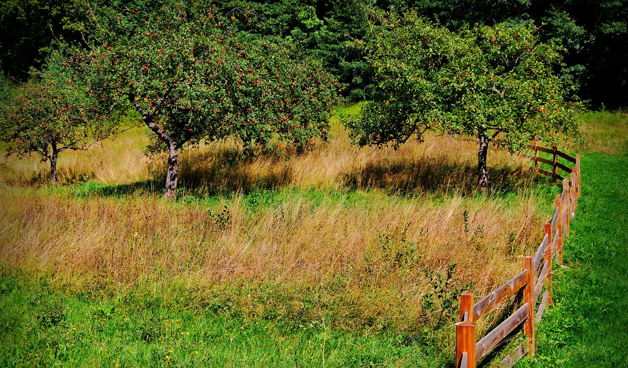 okrasne jablane na cvetočem travniku