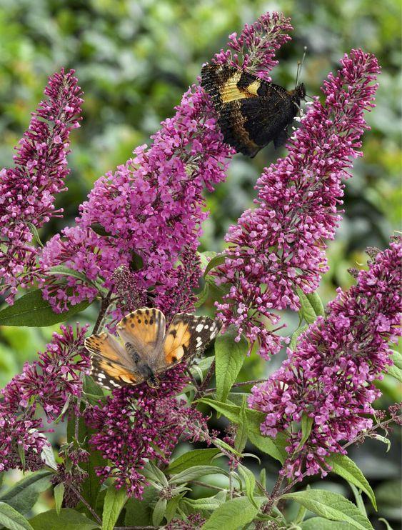 metuljnik (Buddleja davidii)