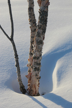 Snow Swirls Around the Birch