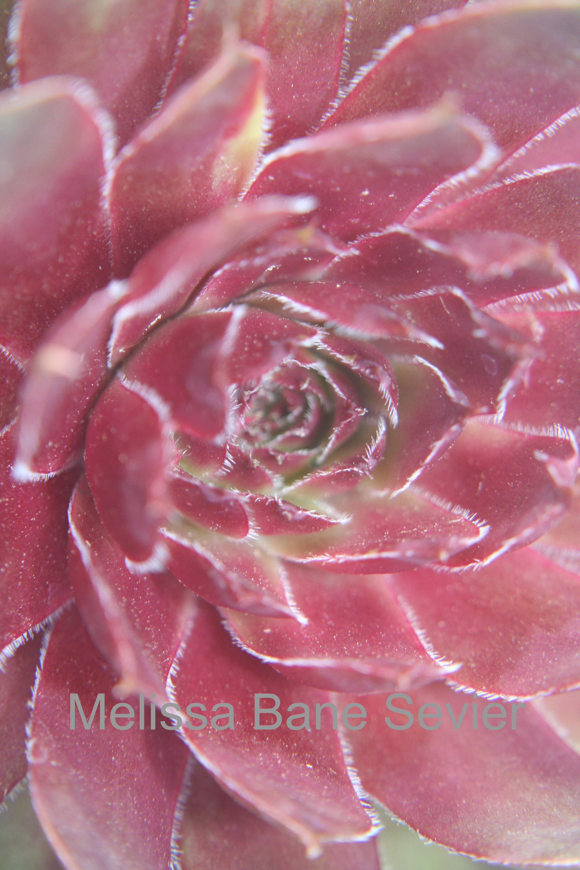 Pink Drama Flower