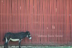 Donkey at Shaker Village