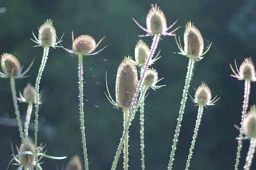Wildflowers at Shaker Village