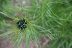 Starburst Flower co  py