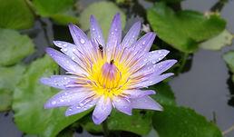Lotus 002.jpg