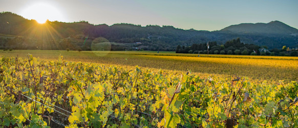 Kelham Vineyards Oakville At Sunrise
