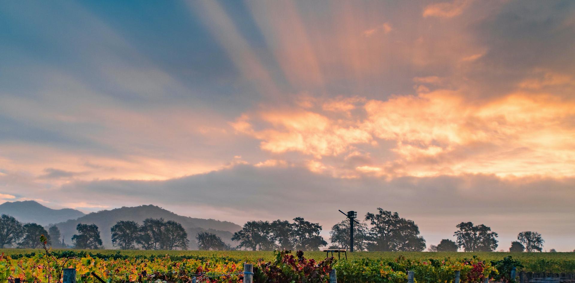 Dawn At Kelham Vineyards