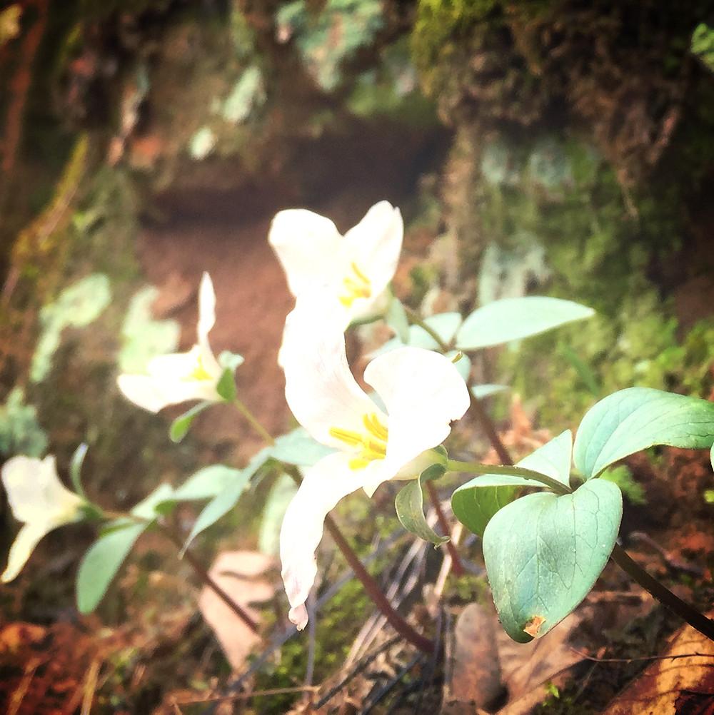 Snow trillium (Trillium nivale) Dolliver State Park, Iowa