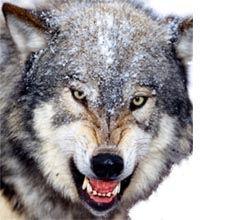 太陽光オオカミのおしっこ効果