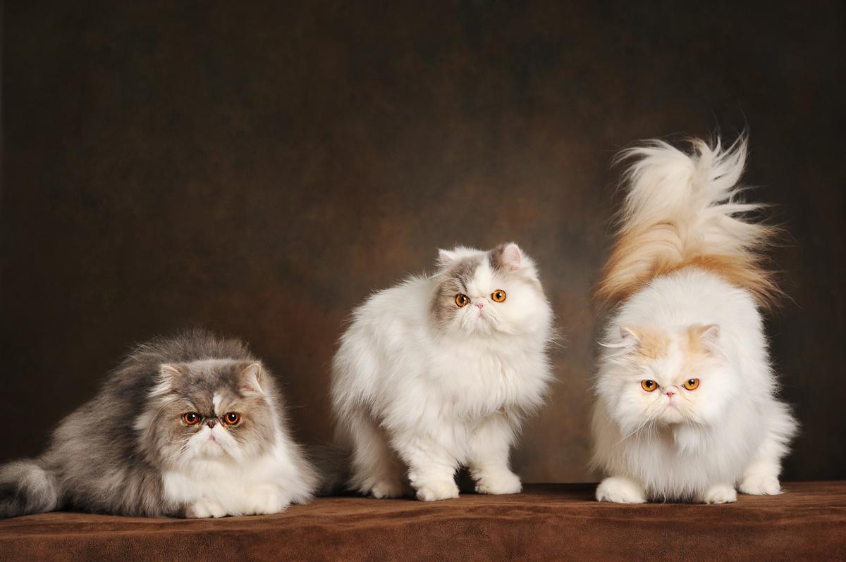 photographe-chiens-chats-animaux-portraits-studio-saint-malo-bretagne-190