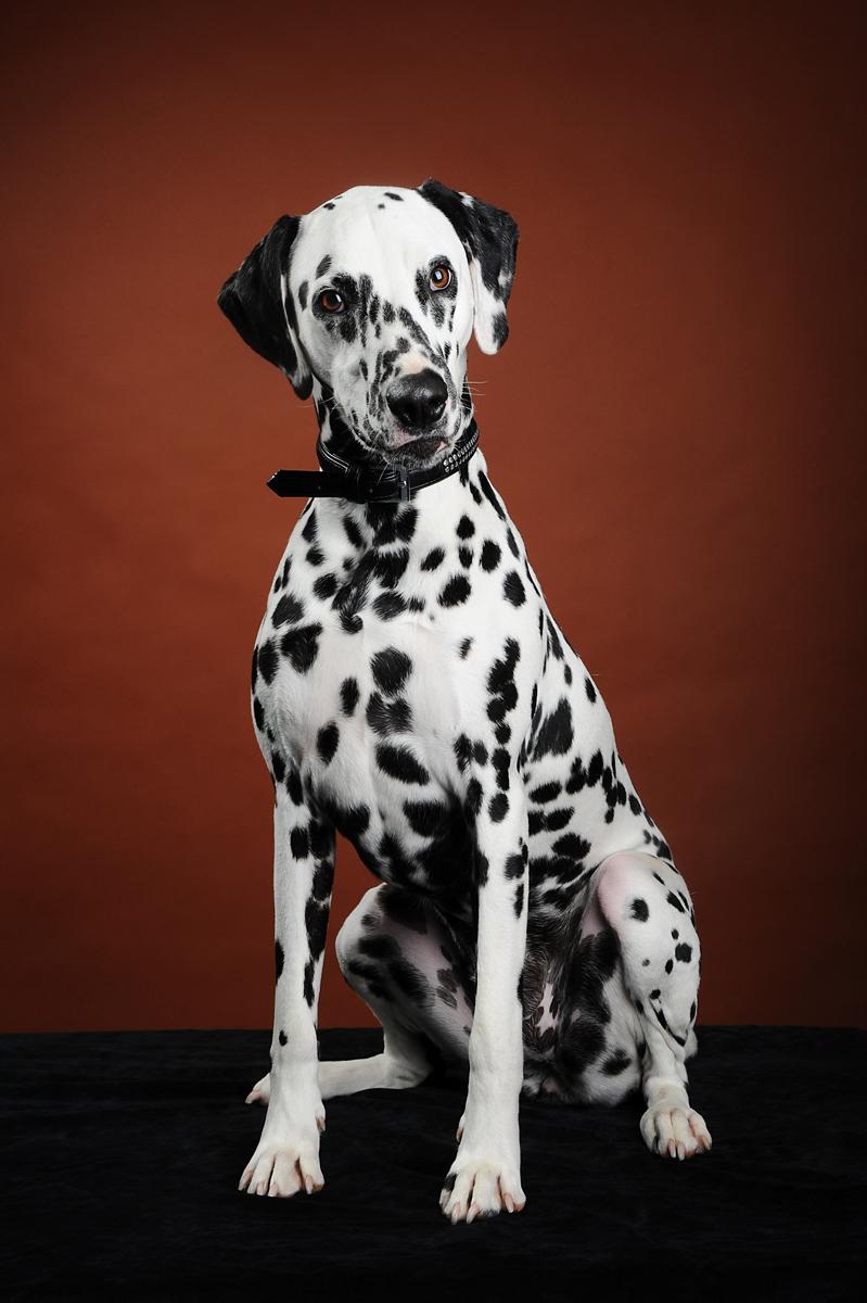 photographe-chiens-chats-animaux-portraits-studio-saint-malo-bretagne-177