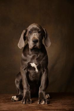 photographe-chiens-chats-animaux-portraits-studio-saint-malo-bretagne-184