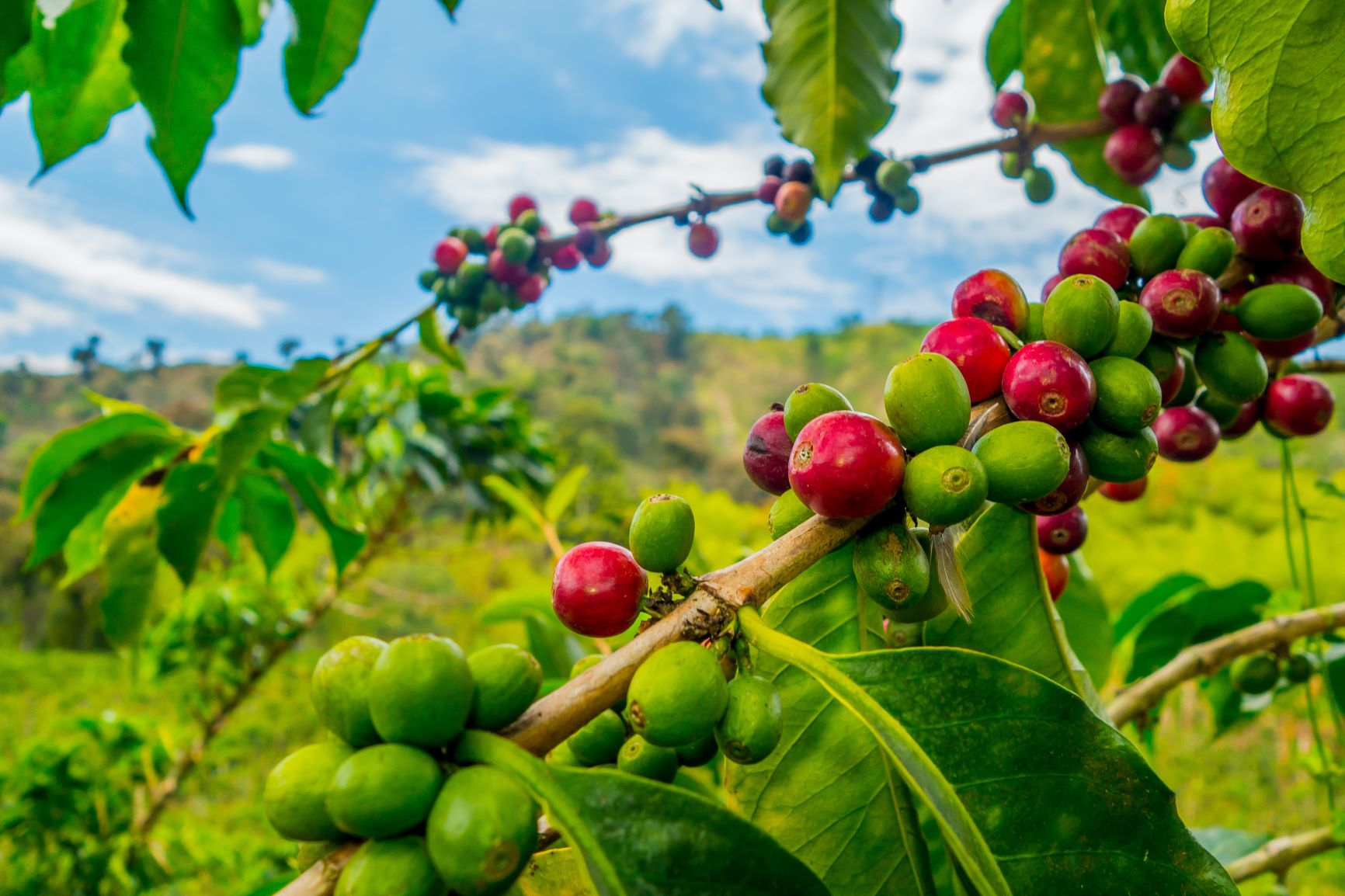 Closeup of coffee fruit in coffee farm a