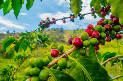Closeup of coffee fruit in coffee farm a