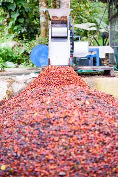 wet process of coffee cherry seeds_