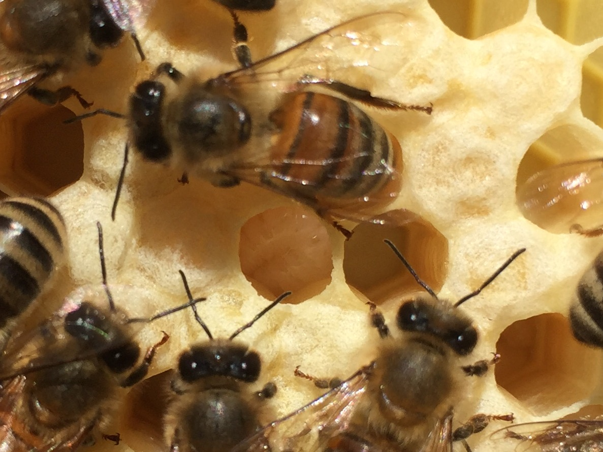 Bee larvae in a brood cell