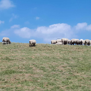 Urlaub, fehlende Donnerstage und Schafe