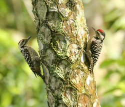Fulvous Breasted Woodpecker
