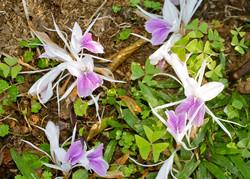 kencur flowers