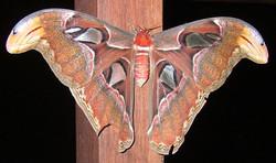 Atlas Moth 1