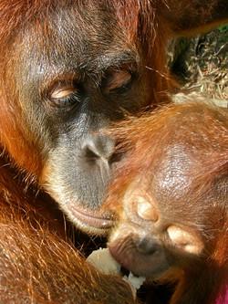 Orangutan Trek in Sumatra