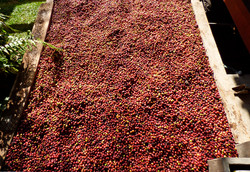 Drying our organic coffee