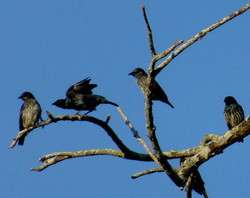 Glossy Starling - photo by Larz vant Hoff