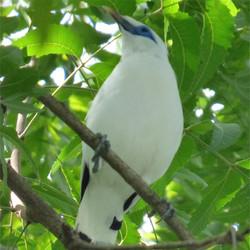 Bali Starling Breeding Project
