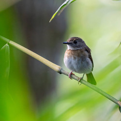 Fulvous-chested jungle flycatcher- photo by Janick Claes