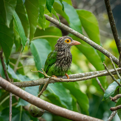 Lineated barbet spotted on our grounds